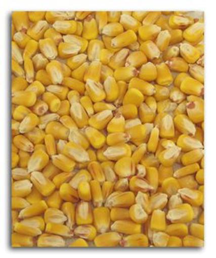 Picture of Corn - Organic 25#